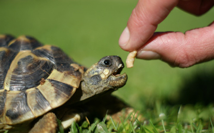 Paternity Tests For Baby Hermann's Tortoises?