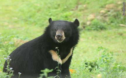 Saving Bears from the Cruelty of Bile Farming