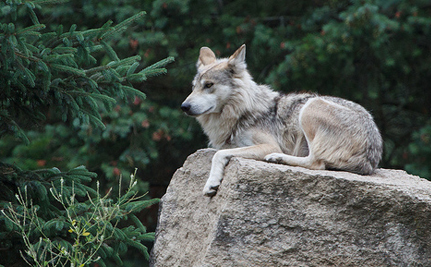 It's Been Four Years Since Last Mexican Gray Wolf Was Released