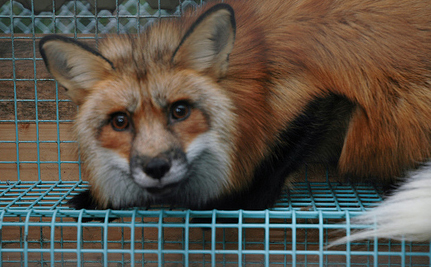 Fur Free Friday: Help Stop the Cruel Fur Trade