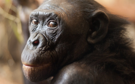 Bonobo's Death Raises Doubts About Famous Scientist
