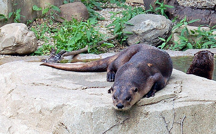 Illinois Says It's OK to Trap River Otters