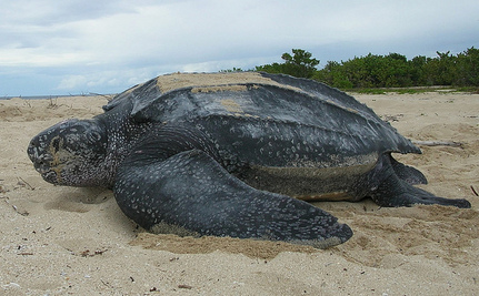 Leatherback Turtle Dies in China