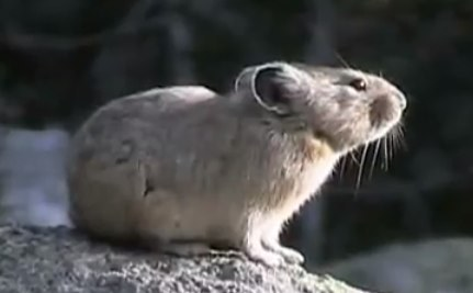 Cute Animal Video of the Day: American Pika Lets Out Almighty Meep