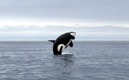 Only 86 of These Orcas Still Exist, But They Don't Deserve Our Protection