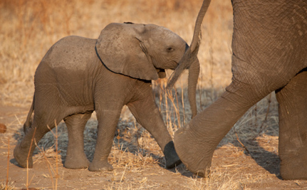 Why Are Baby Elephants Being Sold to Entertainment Companies?