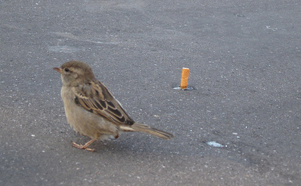 Birds Using Cigarettes To Build Their Nests in Mexico