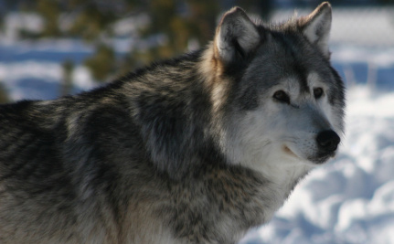 Shot Dead: Yellowstone's Most Famous Wolf