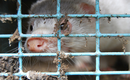 Fur Farming in Ireland Will Continue, Despite Recommendation for a Ban