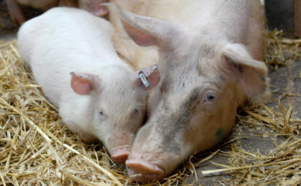 Cruelty at Pig Farm Considered Humane by Independent Panel
