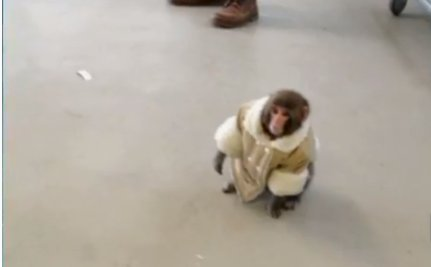 Does Darwin the IKEA Monkey Have the Right to Choose?