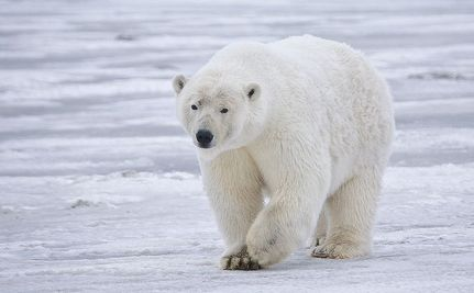Less Than 90 Days to Stop the Trade in Polar Bear Parts