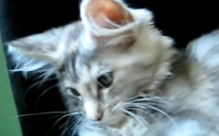 Cute Animal Video of the Day: Can You Name This Maine Coon's Meow?