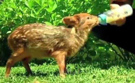 Cute Animal Video of the Day: Meet Bambu, the Rescued Pudu Deer