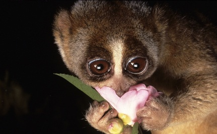 Adorable Brand New Primate Species Already Disappearing Via Exotic Pet Shops