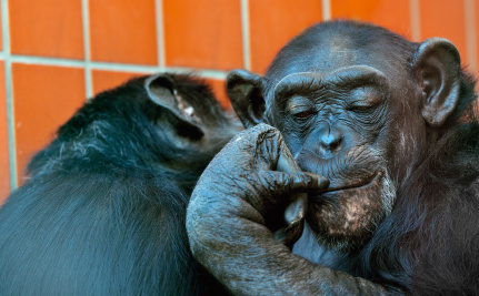 Could Experiments on Chimpanzees in the U.S. End One Day?