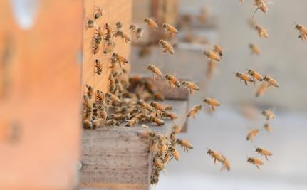 Ask the Beekeeper: Where Have All the Honeybees Gone?