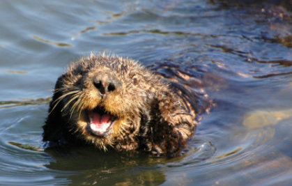 2013 Is the Year of the Otter for California