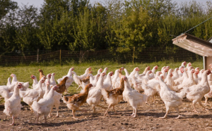 Instead of Antibiotics, Can Oregano Keep Chickens Healthy?