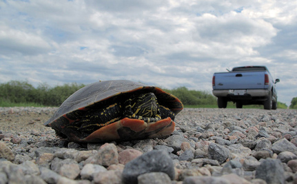 2.7% Of Drivers Are Stupid Jerks, Will Go Out of Their Way to Kill Turtles