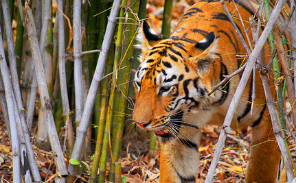 Tigers Make a Comeback: Something to Roar About