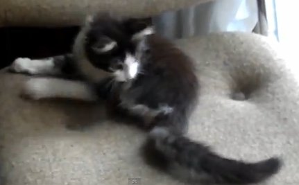 Cute Animal Videos of the Day: Anakin, the Two-Legged Kitten