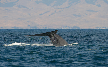 California to Shift Shipping Lanes to Protect Endangered Whales
