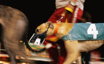 Racing Greyhounds in Asia Denied Adoption, Killed Instead