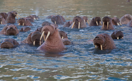 Walruses Once Got U.S. and Russia to Agree on Something
