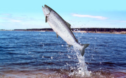 Is Genetically Engineered Salmon Safe?