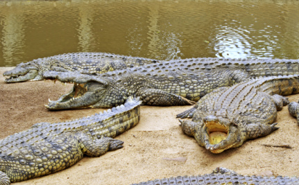 15,000 Farm-raised Crocodiles Escape in South Africa