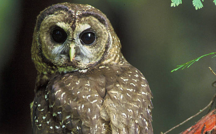 The Northern Spotted Owl Remains on the Road to Extinction