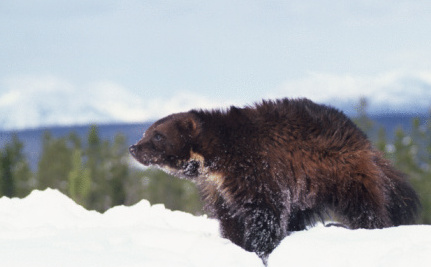 Wolverines Can Fight Grizzlies But They Can't Fight Climate Change
