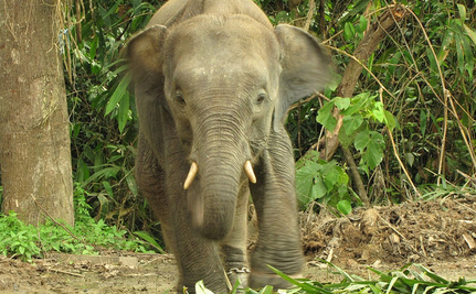 What, or Who, Killed 10 Rare Borneo Pygmy Elephants?
