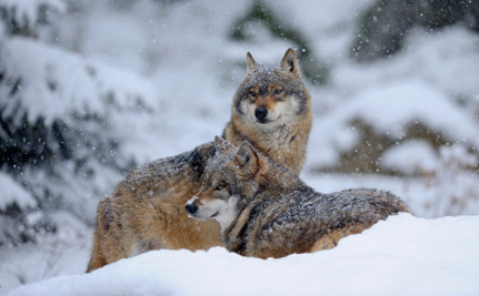 Pointless Trophy Hunting: Less Than Two Months to Save Wolves in Michigan