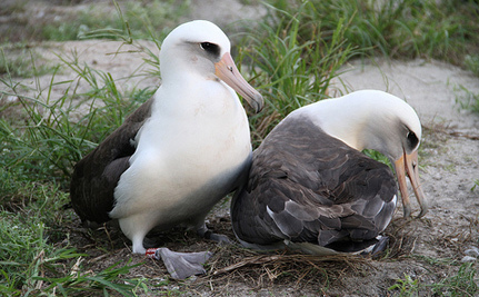 62-Year-Old Female Albatross Still Sexually Active