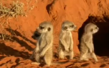 Cute Animal Video of the Day: Newborn Meerkats See Daylight for the First Time
