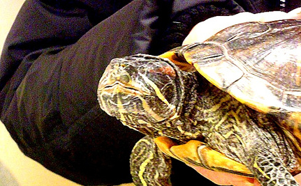 Timmi the 'No Eye' Turtle: New Trend in Frankenpets