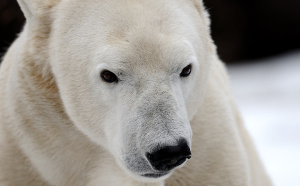 Will We Have to Start Feeding, or Killing, Polar Bears?