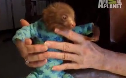 Cute Animal Video of the Day: Baby Sloths Get Pajamas
