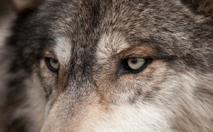 Animal Rights Groups Unite to Get Wolves the Protection They Need