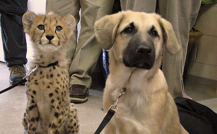 Shelter Dogs Help Cheetahs Survive