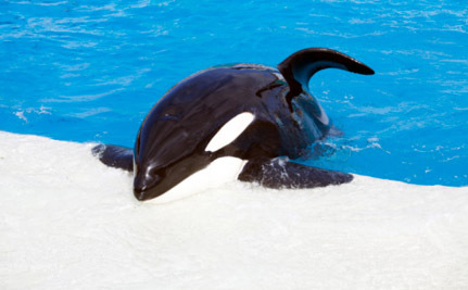 Why Are We Celebrating Birth of an Orca Whale at SeaWorld?