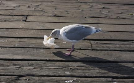 Disturbing Video of a Seagull Eating a Plastic Bag