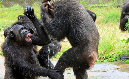 Chimpanzees Try Their Hands at Plumbing, Celebrate When Cold Water Returns