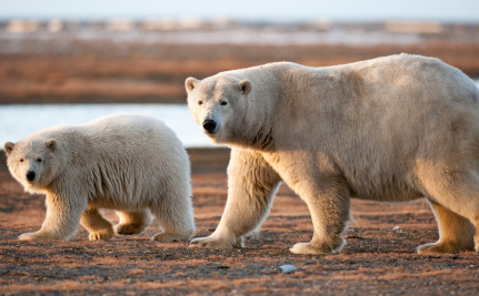 10 Reasons to Save Polar Bears, and How You Can Help