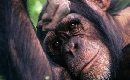 The Last 1000: Site Tracks Retirement of Research Chimps