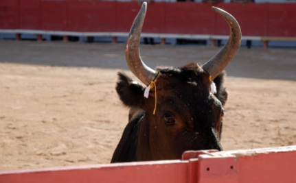 Bloodless Bullfighting: An 'Ethical Option' Or Just Plain Animal Cruelty?