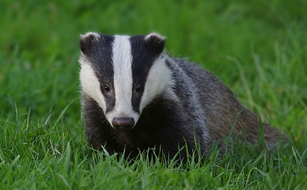 Over 5,000 Badgers Will Die In England Beginning This Summer