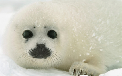 Hundreds of Baby Seals Saved from Slaughter